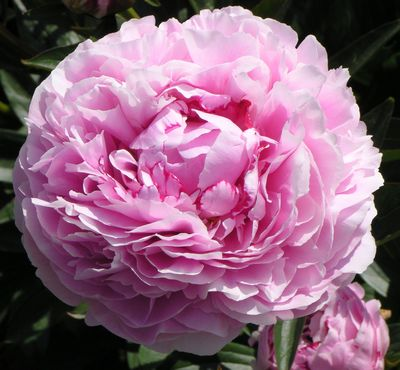 """Résultat de recherche d'images pour """"rose sarah bernhardt"""""""