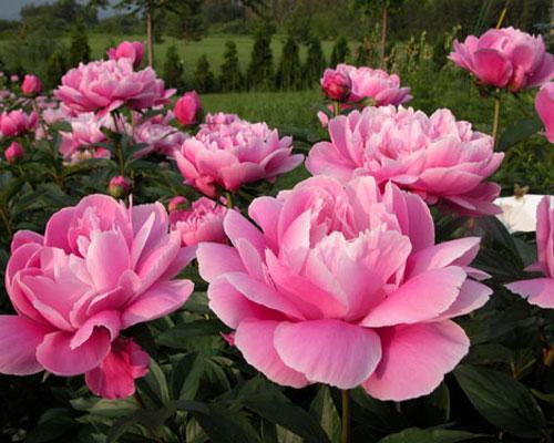 Produit un très bel effet. Hauteur  95 cm Floraison en mi,saison. Excellente tenue et fleurs magnifiques tenues très droites sur le plant.
