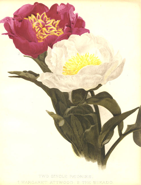 Paeoniaceae - Paeonia Margaret Attwood + The Mikado
