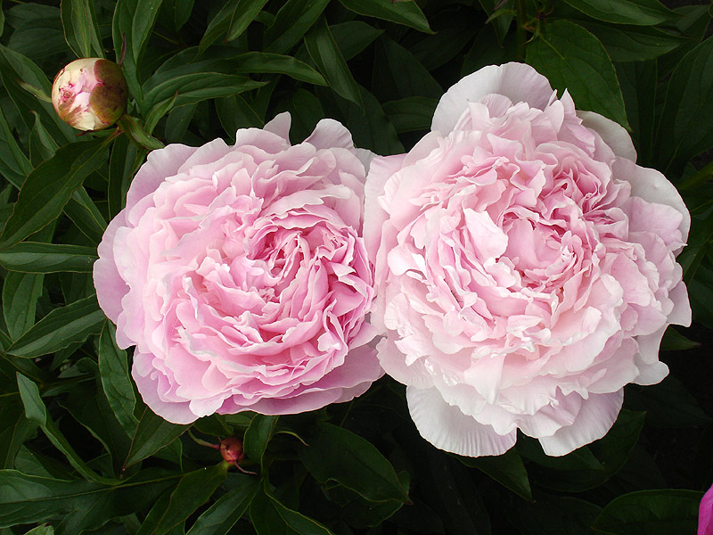 PHOTO: Paeonia 'Myrtle Gentry'.